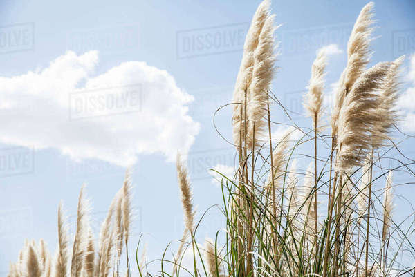 Tall grass against blue sky dotted with clouds Royalty-free stock photo