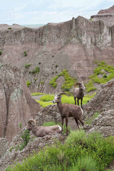 Bighorn sheep, Badlands National Park, South Dakota, USA Royalty-free stock photo