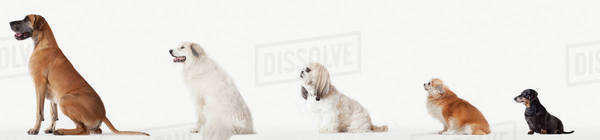 Collage of dogs in descending size Royalty-free stock photo