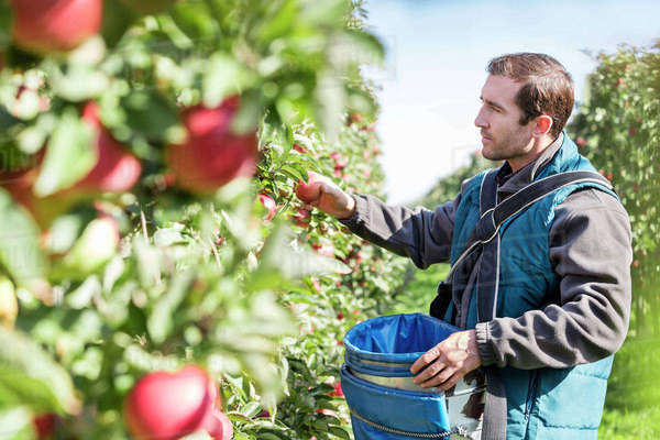 Male farmer harvesting apples in sunny orchard Royalty-free stock photo
