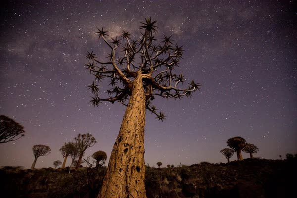 Timelapse of stars above a quiver tree Royalty-free stock video