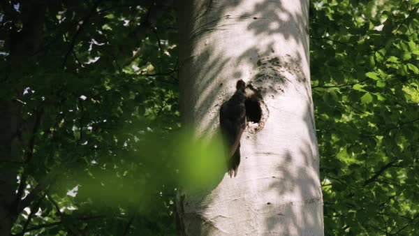 Medium shot of a Black woodpecker feeding chicks Royalty-free stock video