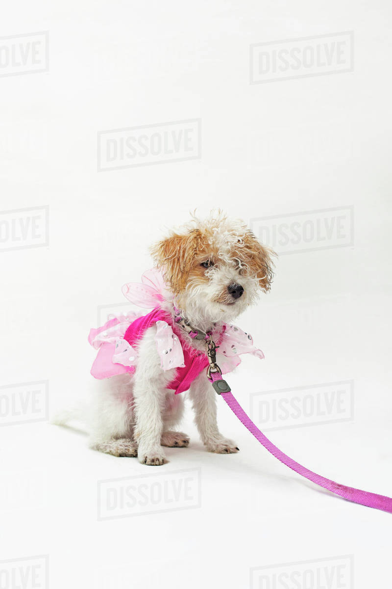 A mixed breed dog wearing a pink fairy costume Royalty-free stock photo