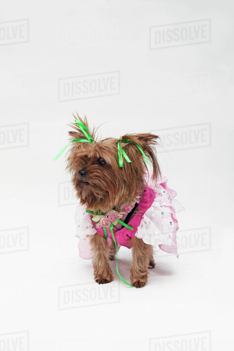 A Yorkshire Terrier wearing a pink fairy costume Royalty-free stock photo
