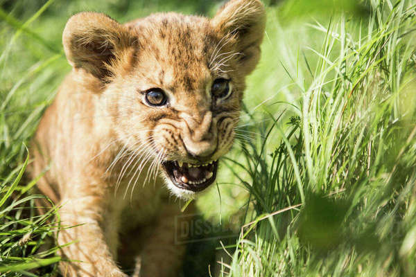 Close-up of lion cub roaring in grass Royalty-free stock photo
