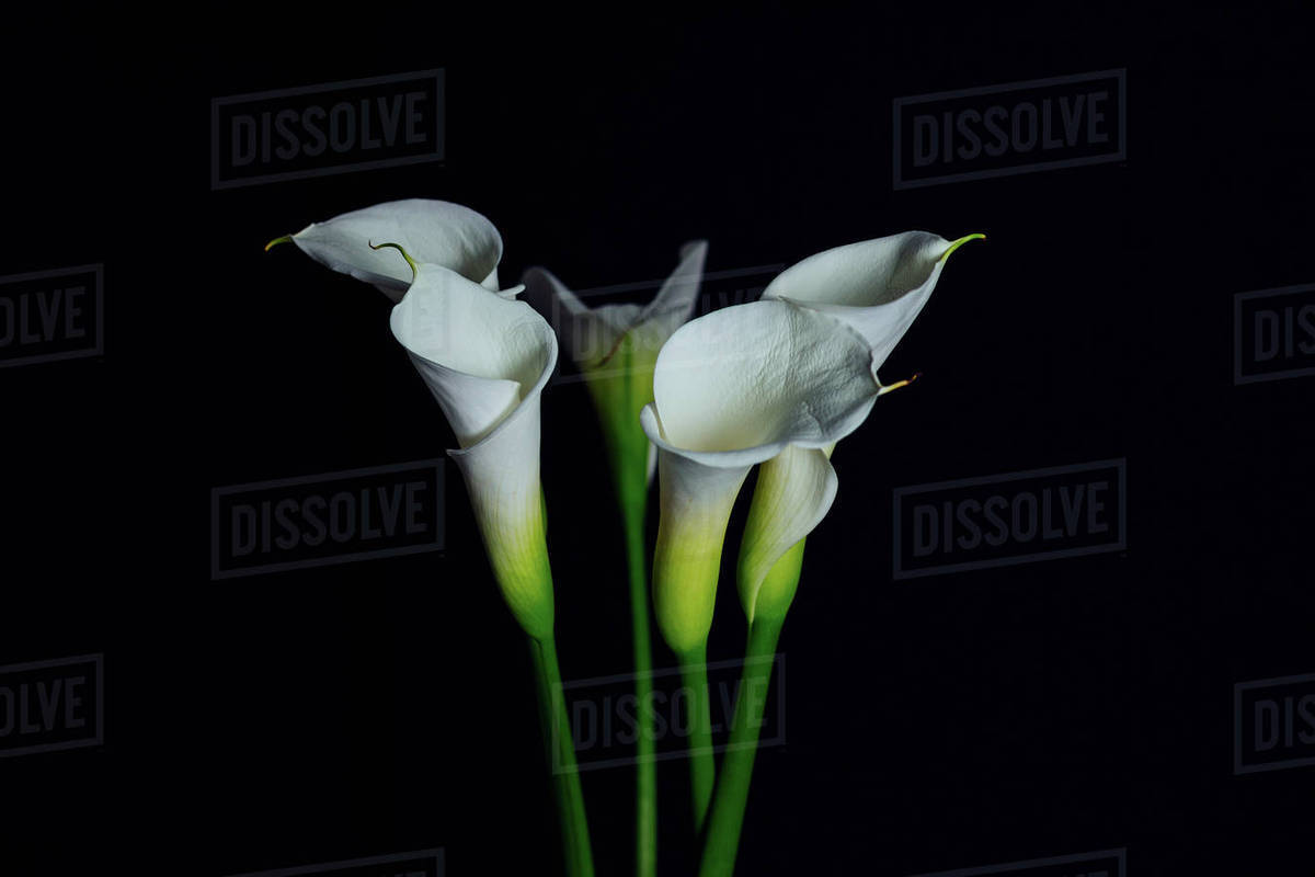 Close up of white calla lily flowers against black background close up of white calla lily flowers against black background izmirmasajfo
