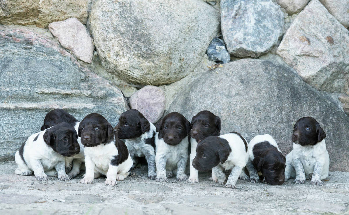 Cute Springer Spaniel Puppies In A Row Stock Photo Dissolve