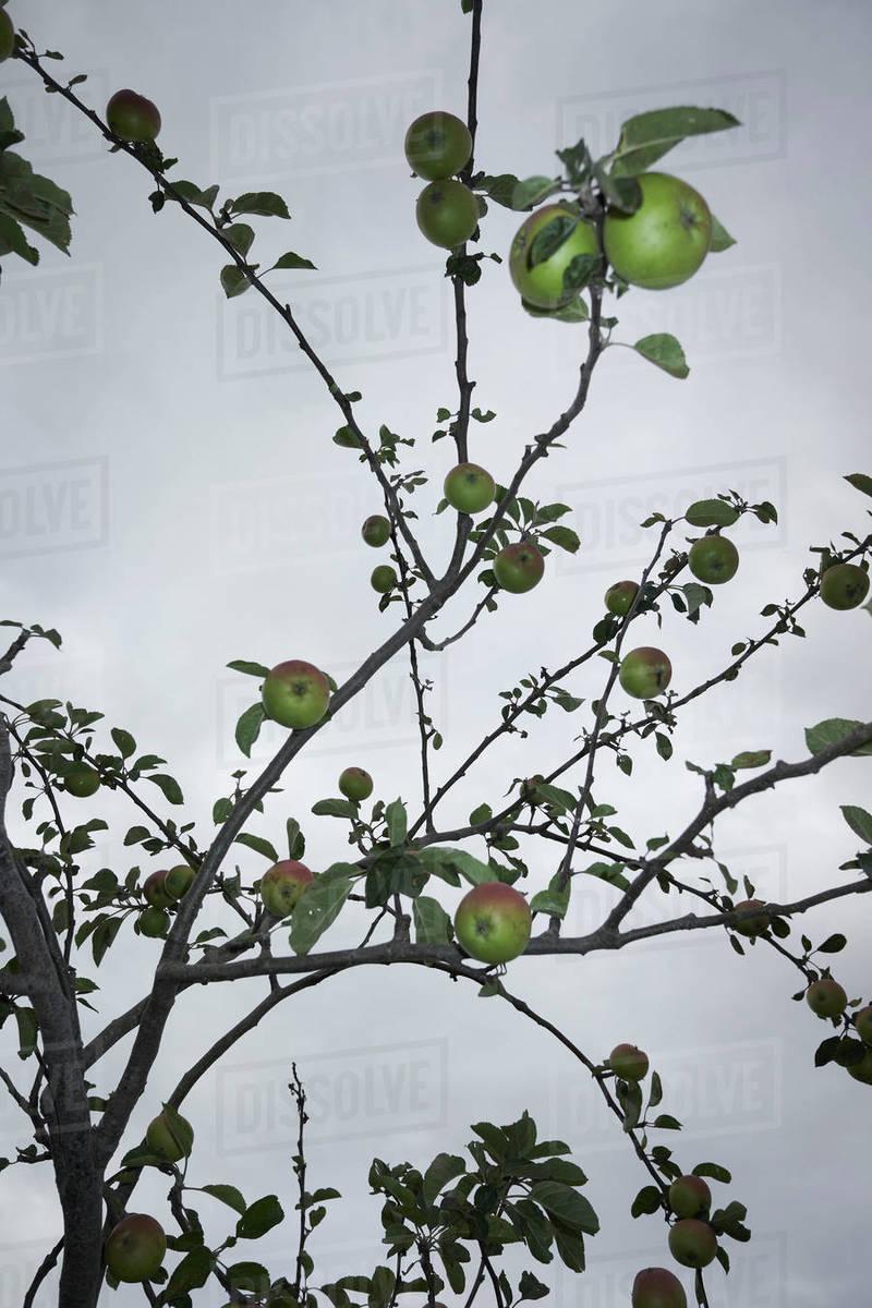 Apple tree against overcast sky Royalty-free stock photo