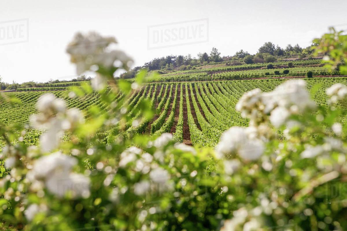 Idyllic, sunny vineyard landscape, Beaune, Burgundy, France Royalty-free stock photo